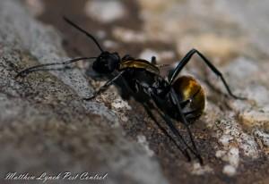 Ant control Penrith