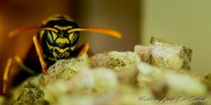 wasp control penrith