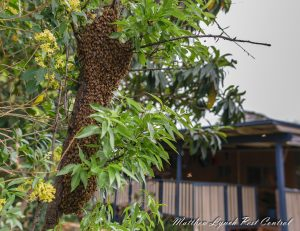 bee removal penrith