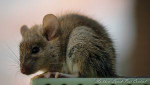 mice control penrith